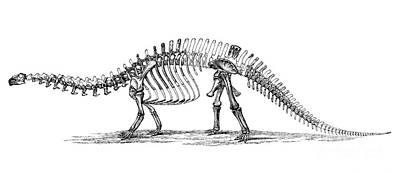 Apatosaurus Excelsus,  Aka Brontosaurus Print by Science Source