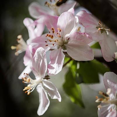 Apple Blossom Print by Ralf Kaiser