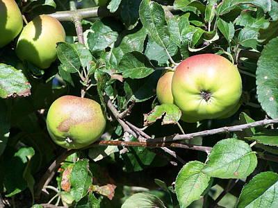 Apples Print by Steve Huang