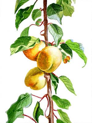 Apricots Print by Irina Sztukowski