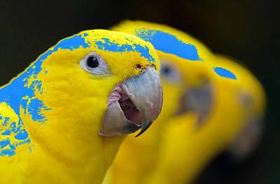 Parakeet Photograph - Ararajuba by MaViLa