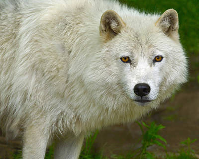 Arctic Wolf Photograph - Arctic Wolf by Tony Beck