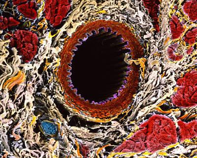Artery Print by Prof. P. Mottadept. Of Anatomyuniversity \la Sapienza\, Rome