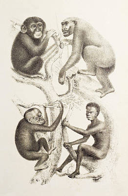 Artwork Of Four Apes, 1874 Print by Mehau Kulyk