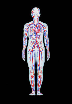 Artwork Of Human Blood Circulation Print by John Bavosi
