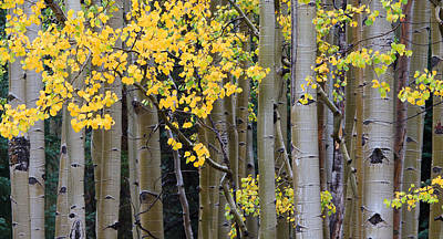 Gore Range Photograph - Aspen Gold by Adam Pender