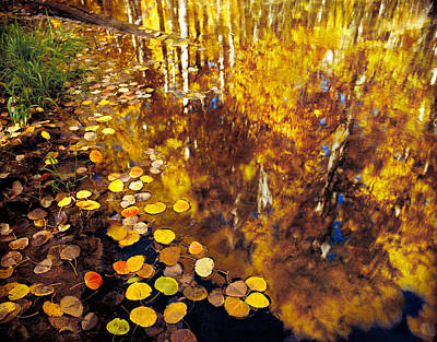 Nature Photograph - Aspen Leaves And Reflections by Tim Fleming