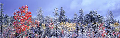Aspens In Fall With Snow, Near 100 Mile Print by David Nunuk