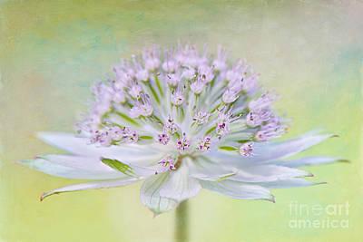 Astrantia Photograph - Astrantia Art by Jacky Parker