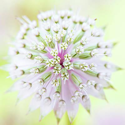 Astrantia Photograph - Astrantia Flower by Jacky Parker Photography