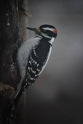 Picoides Villosus Photograph - At Work by Susan Capuano