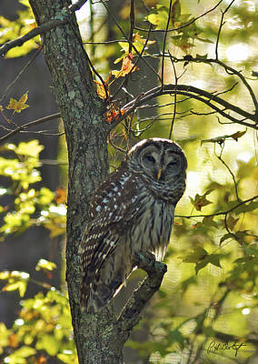 Audubon Day Barred Owl Print by Phill Doherty