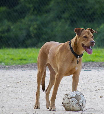 Dogs Photograph - Augie With Soccer Ball by Stephen  Tunis