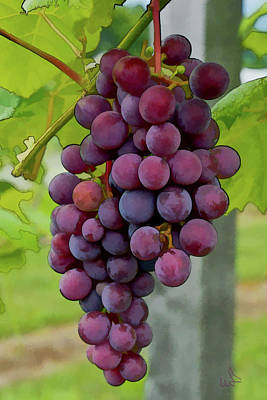 Bunch Of Grapes Photograph - August Grapes by Michael Flood