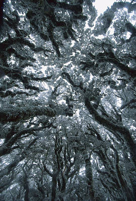 Autumn Snow On Beech Trees, Routeburn Print by Colin Monteath