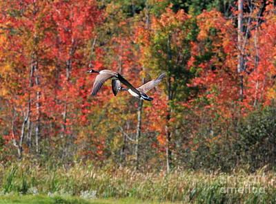 Autumn Vermont Geese And Color Print by Deborah Benoit