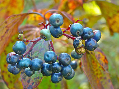 Autumn Viburnum Berries Series #4 Print by Mother Nature