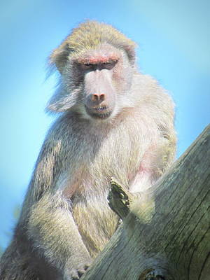 British Columbia Photograph - Baboon by Eva Kondzialkiewicz