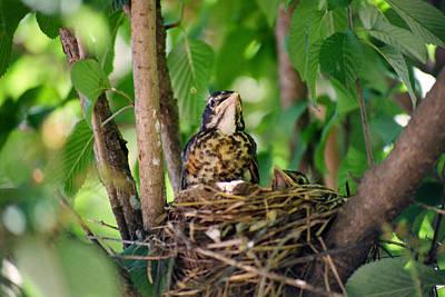 Baby Birds Print by CJ Clark