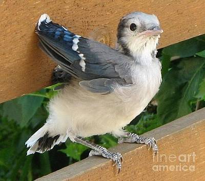 Baby Bluejay Photograph - Baby Blue Jay by Bobbylee Farrier