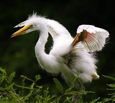 Baby Egret Wings Print by Paulette Thomas