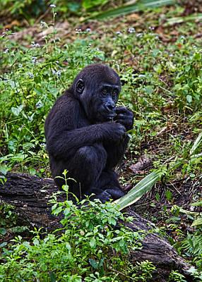 Baby Gorilla Original by Jason Blalock