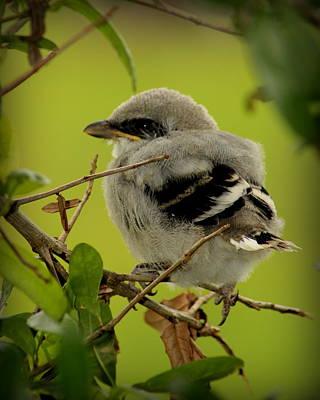 Baby Mockingbird Original by Marty Thibodaux