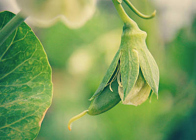 Baby Pea Print by Amy Schauland