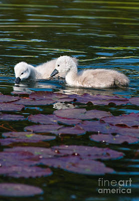 Swan Photograph - Baby Swans On Lily Pods by Andrew  Michael
