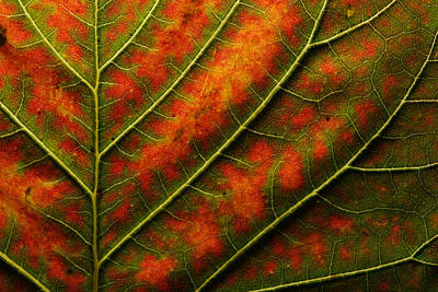 Backlit, Close Up Of A Smoke Tree Leaf Print by Joe Petersburger