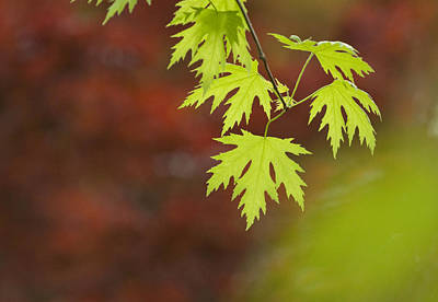 Close Focus Nature Scene Photograph - Backlit Maple Leaves On A Branch by Greg Dale