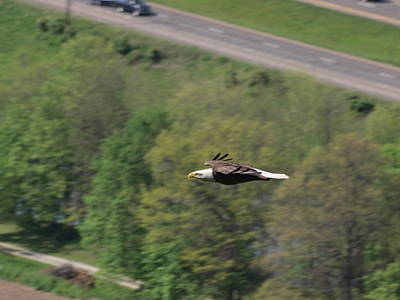 Bald Eagle In Flight One Print by Joshua House