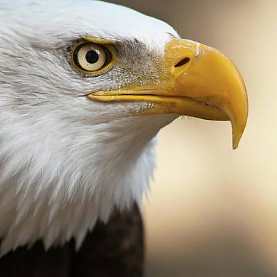 Barcelona Photograph - Bald Eagle by Jonatan Hernandez Photography