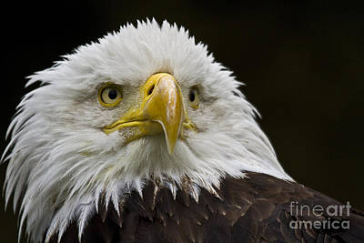 Ailing Photograph - Bald Eagle The American Icon - 2 by Heiko Koehrer-Wagner