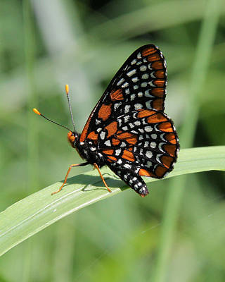 Checkerspot Photograph - Baltimore Checkerspot Butterfly With Wings Folded by Doris Potter