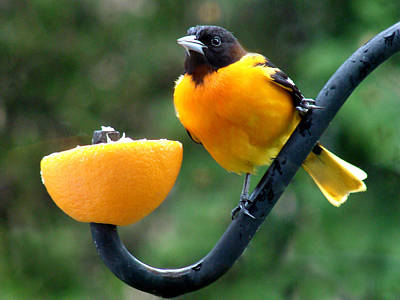 Oriole Mixed Media - Baltimore Oriole And Orange by Bruce Ritchie