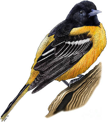 Orioles Drawing - Baltimore Oriole by Roger Hall and Photo Researchers