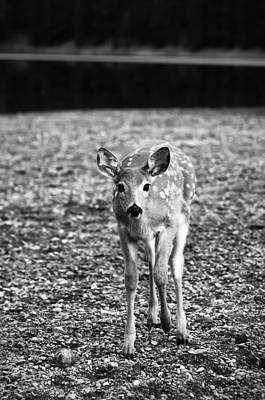 Doe Photograph - Bambi In Black And White by Sebastian Musial