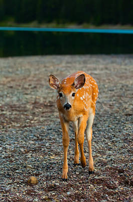 Deer Photograph - Bambi by Sebastian Musial