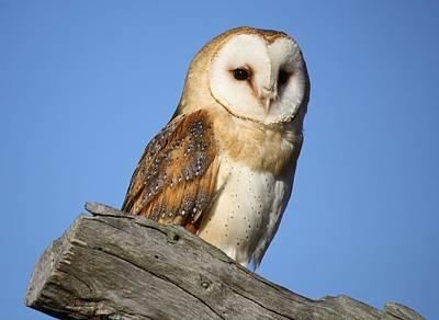 Barn Owl Print by Paulette Thomas