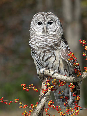 Barred Owl And Bittersweet Print by Cindy Lindow