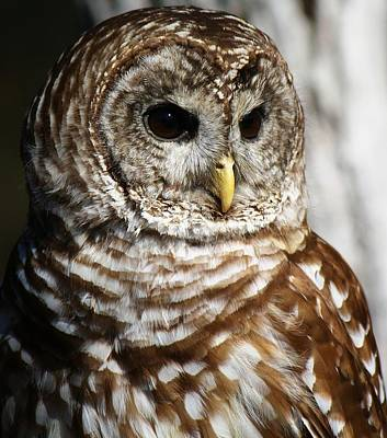 Barred Owl Print by Paulette Thomas