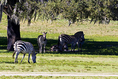 Of Zebra Grazing Photograph - Bask While I Eat by Nicholas Evans