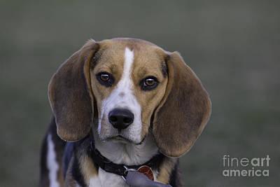 Beagle Print by Darcy Evans