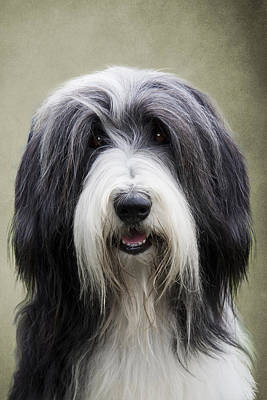 Collie Photograph - Bearded Collie Dog by Ethiriel  Photography