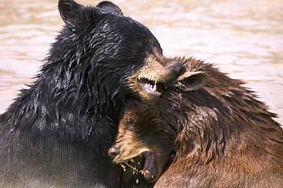 Bears In Water Print by Carson Ganci