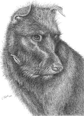 Griffon Drawing - Beau by Lawrence Tripoli