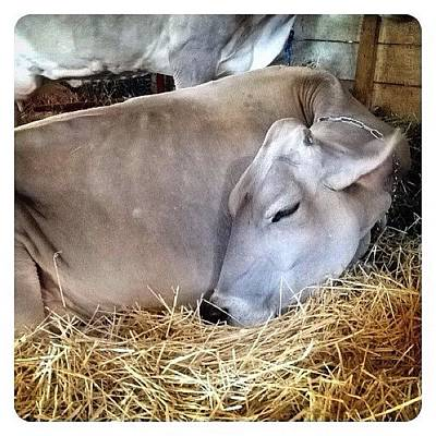 Cow Photograph - Beautiful Brown Swiss by Natasha Marco