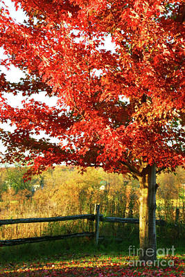 Vivid Fall Colors Photograph - Beautiful Red Maple Tree  by Sandra Cunningham