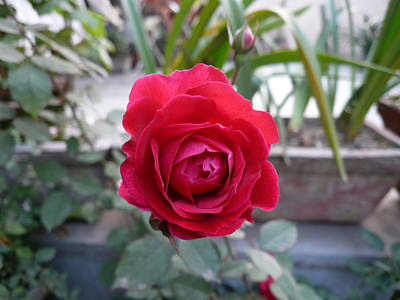 Beautiful Red Rose In A Small Garden Print by Ashish Agarwal